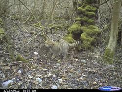 Wildkatze auf Wildkamera (c) FVA