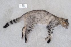 Wildkatzenhybrid