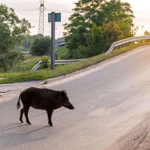Wildschwein Strasse © PantherMedia / VIVOOO