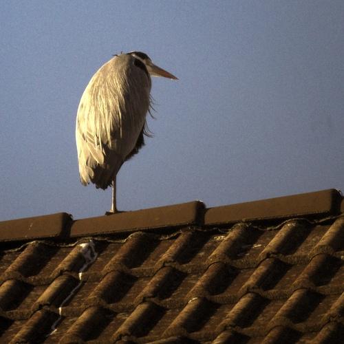 Graureiher auf dem Dach / Ulrich vor dem Esche