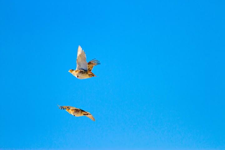 Rebhühner,fliegend