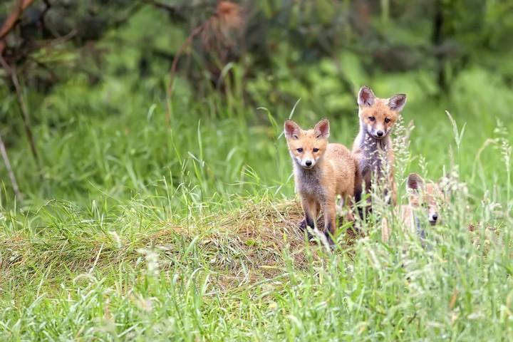 Jungfüchse im Wald © PantherMedia / Janusz Pieńkowski