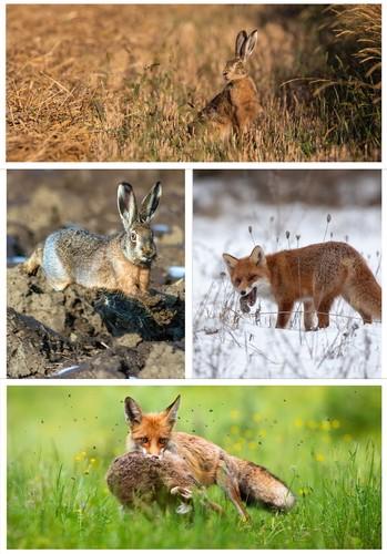 Fuchs,Hase,Forschung,Projekt