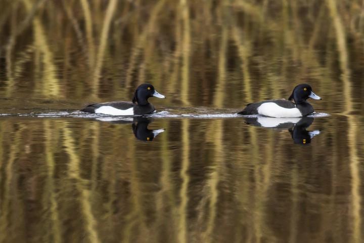 Reiherentenpaar auf dem Wasser © PantherMedia / Rosemarie Kappler